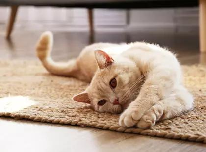 Кошки могут заразиться коронавирусом - исследование китайских ученых